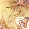 Centrální nervová soustava jako organický základ psychických funkcí – 1. část
