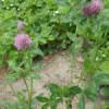 Jetel červený (Trifolium pratense)