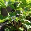 Jahodník obecný (Fragaria vecsa L.)